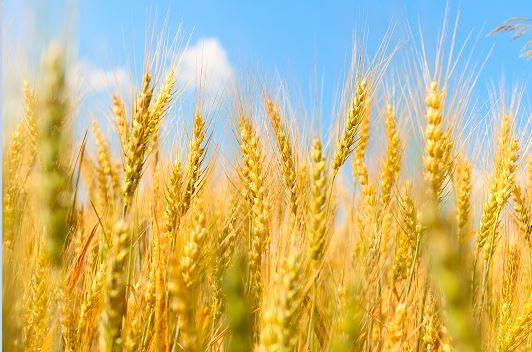 Use of carrageenan for the reduction of deoxynivalenol contamination in wheat and barley kernels